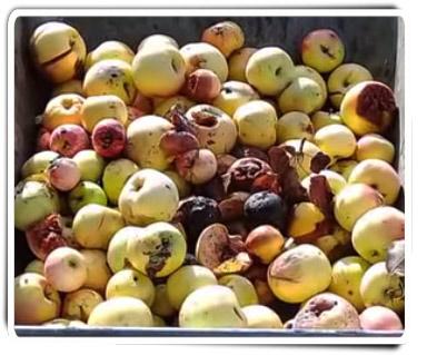 Усыхающие яблоки почти как в рекламе